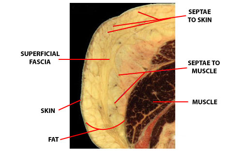Superficial Fascial System