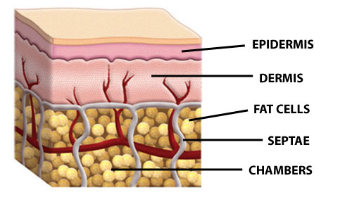 Skin and Fat Structure